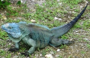 Find Out How You Can Help The Grand Cayman Blue Iguana
