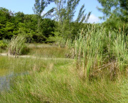 Edge of the marsh with the casuarinas