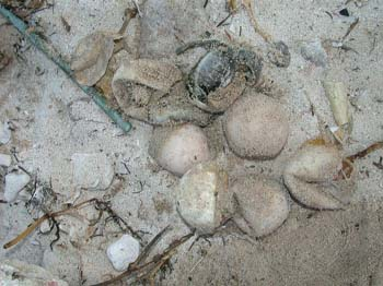 hatchling_turtles_eggs.jpg