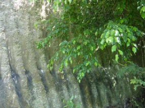 Limestone wall with Ficus Benjamina/Fig tree