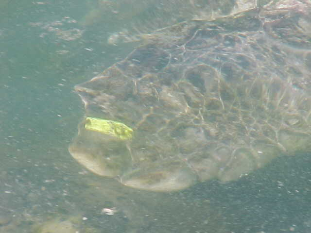 Yellow Tagged Turtle