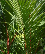 A red palm in Suva