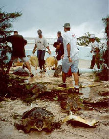 Turtle rescue during Hurricane Michelle - Photograph courtesy of Maggie Jackson